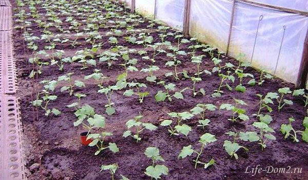 Выращиваем огурцы в теплице